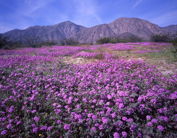 Photograph - 3a6905 Spring Bloom Anza Borrego State Park by Ed Cooper Photography
