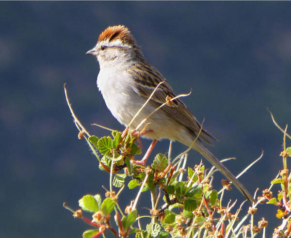 Photograph - 3d10303-dc Chipping Sparrow by Ed Cooper Photography