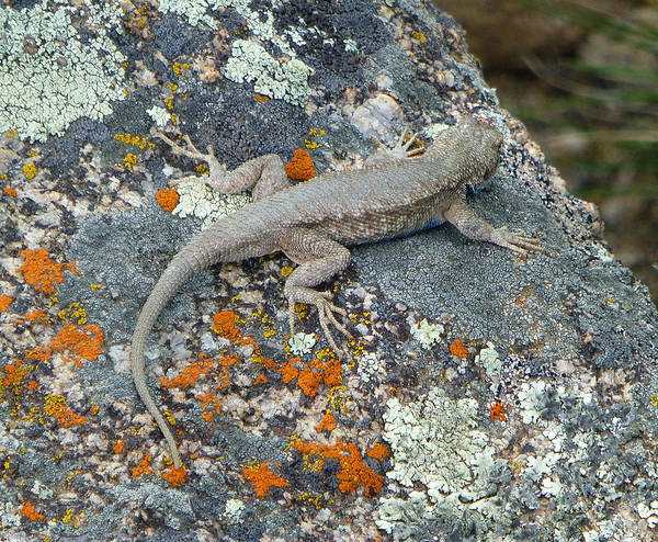 Photograph - 3d10304 Lizard And Lichen by Ed Cooper Photography