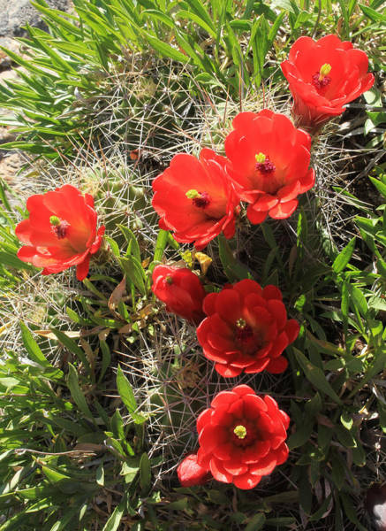 Photograph - 3d10321 Claret Cup Cactus Flowers by Ed Cooper Photography