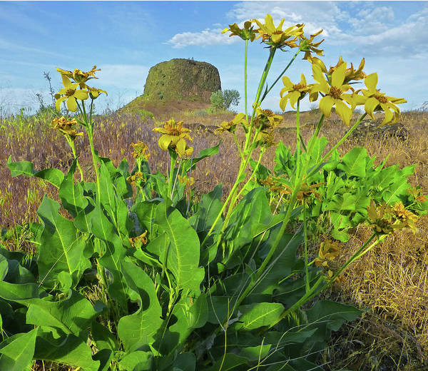 Photograph - 3da5792-dc Arrowleaf Balsamroot Framing Hat Rock by Ed Cooper Photography