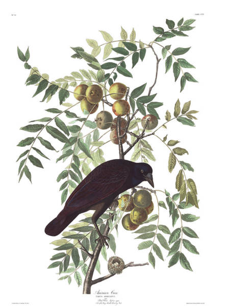 Wall Art - Painting - American Crow by John James Audubon