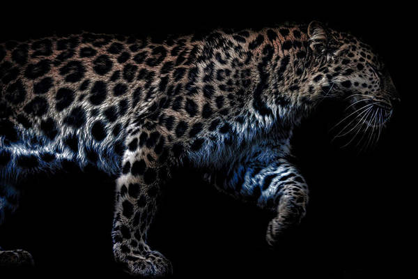 High Definition Photograph - Amur Leopard by Martin Newman