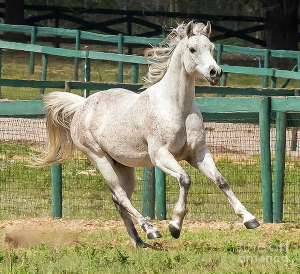 Photograph - Arabian Horse Running by Michael D Miller