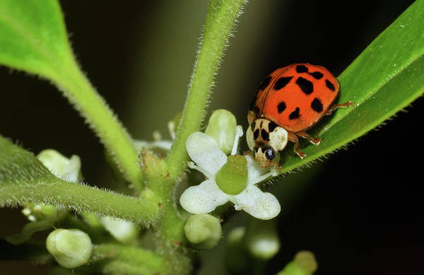 Photograph - Asian Lady Beetle by Larah McElroy