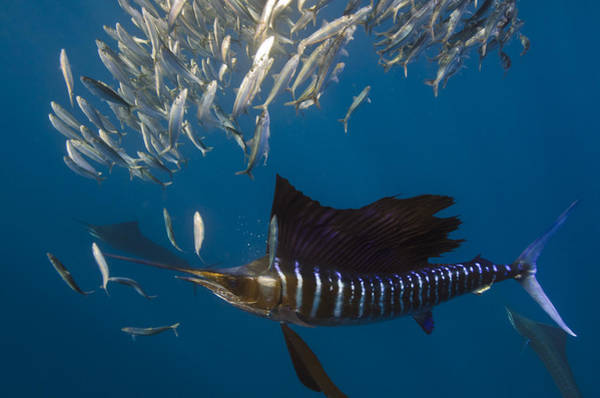 Isla Mujeres Photograph - Atlantic Sailfish Istiophorus Albicans by Pete Oxford