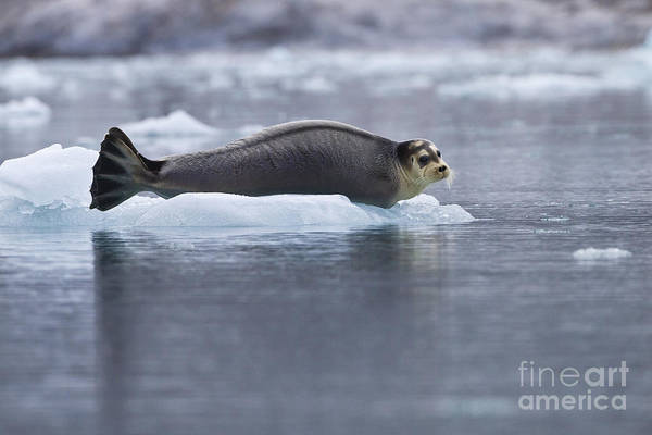 Laying Out Photograph - Bearded Seal by Jean-Louis Klein & Marie-Luce Hubert