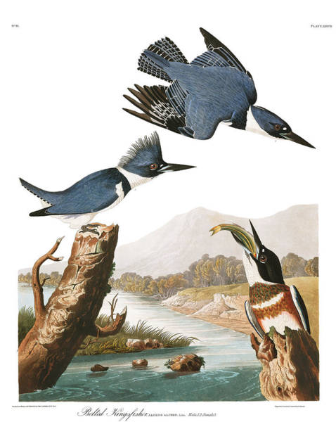 Wall Art - Painting - Belted Kingfisher by John James Audubon
