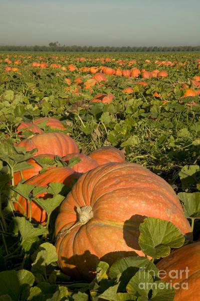 Mac Photograph - Big Mac Pumpkins In A Field by Inga Spence