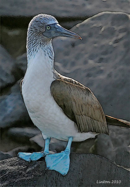 Blue Footed Booby Wall Art - Digital Art - Blue-footed Booby by Larry Linton