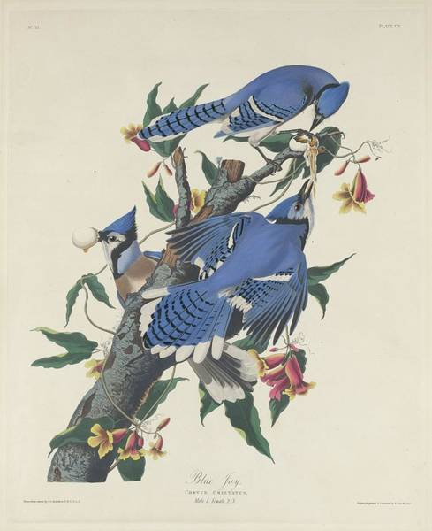 Wall Art - Drawing - Blue Jay by Dreyer Wildlife Print Collections