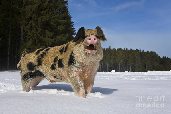 Snorting Wall Art - Photograph - Boar In The Snow by Jean-Louis Klein & Marie-Luce Hubert