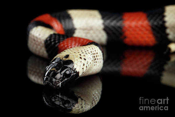 Photograph - Campbell's Milk Snake, Lampropeltis Triangulum Campbelli, Isolated On Black Background by Sergey Taran