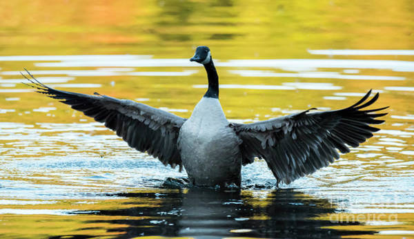 Photograph - Canada Goose by Michael D Miller