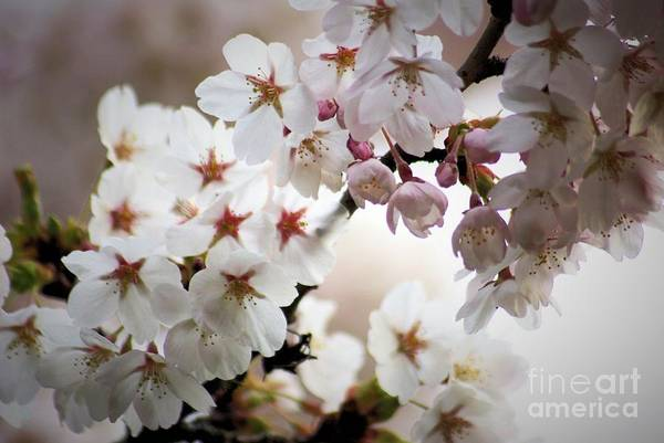 Photograph - Cherry Blossoms by Victor K