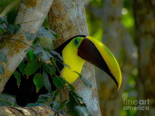 Chestnut-mandibled Toucan Art Print