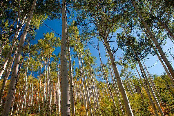 Colorado Aspens Art Print by Terry Runion