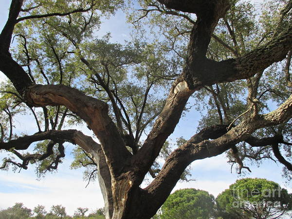 Photograph - Cork Oak And Pines by Chani Demuijlder