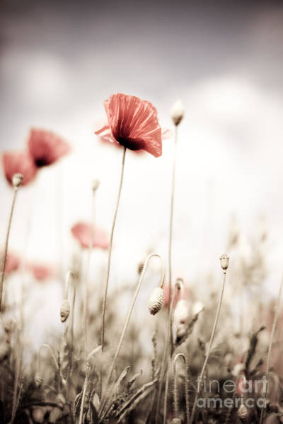 Wild Flower Photograph - Corn Poppy Flowers by Nailia Schwarz
