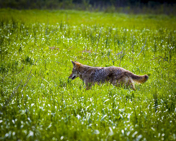 Photograph - Coyote by Jack R Perry