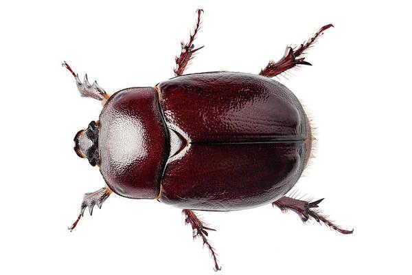 Arthropods Painting - European Rhinoceros Beetle Female  by Pablo Romero