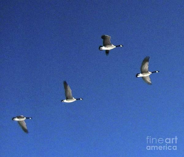 Photograph - 4 Geese In Flight by Cindy Schneider