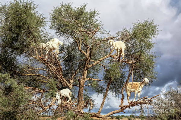 Moroccan Digital Art - 4 Goats In Trees Road To Essaouira Morocco  by Chuck Kuhn