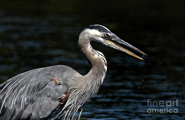 Painting - Great Blue Heron  by Sue Harper