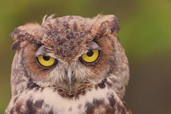Photograph - Great Horned Owl  by Brian Cross