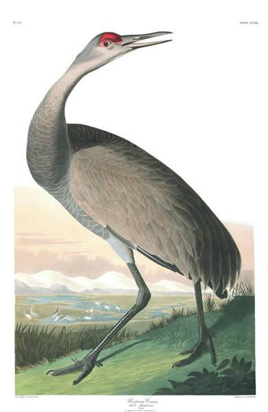 Hoops Painting - Hooping Crane by John James Audubon