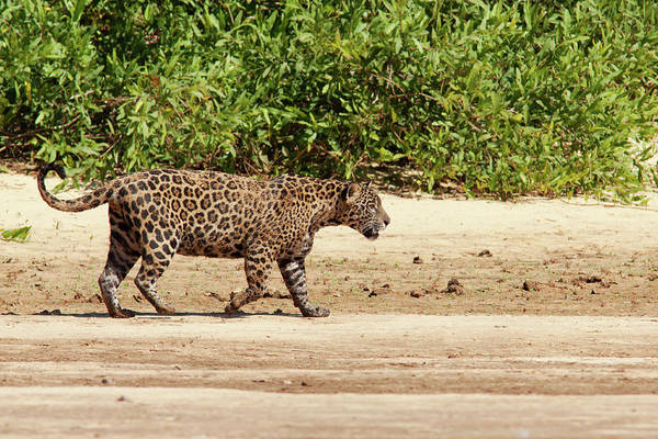 Photograph - Jaguar Walking On A River Bank by Aivar Mikko