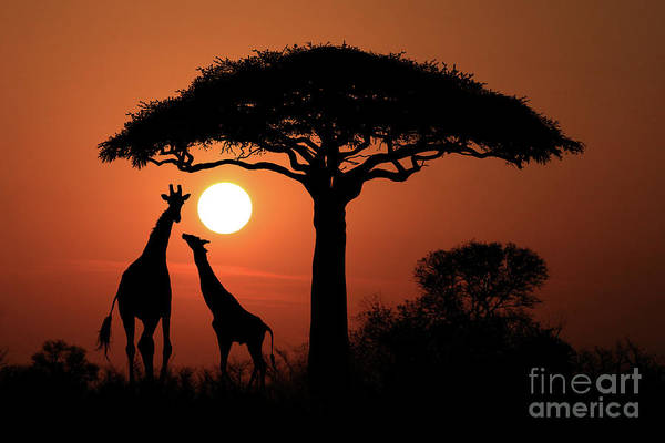 Katrina Digital Art - Large South African Giraffes At Sunset In Africa by Katrina Brown