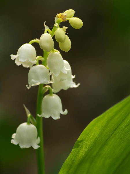 Wall Art - Photograph - Lily Of The Valley by Odon Czintos