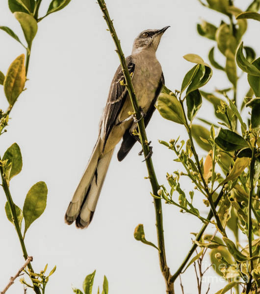 Mockingbird Photograph - Looking Up by Robert Bales