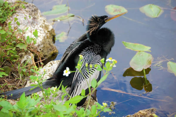 Wall Art - Photograph - Male Anhinga by Rich Leighton