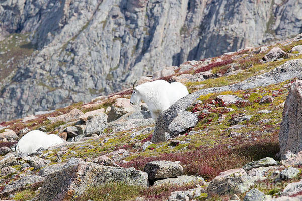 Photograph - Test Your Limits Mountain Goats On Bierstadt by Steve Krull