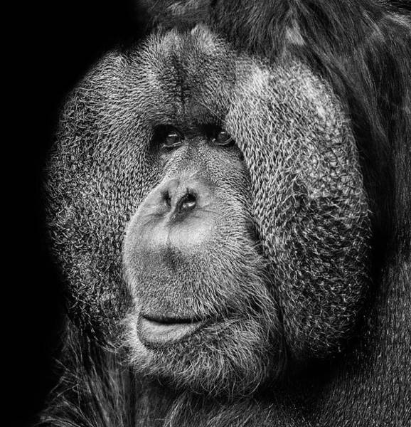 Wall Art - Photograph - Orangutan by Martin Newman