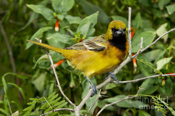 Icterid Photograph - Orchard Oriole by Anthony Mercieca