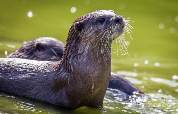 Aonyx Photograph - Otter  by Shaun Wilkinson