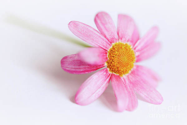 Photograph - Pink Aster Flower by Nick Biemans