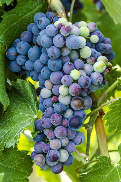 Photograph - Red Wine Grapes by Teri Virbickis