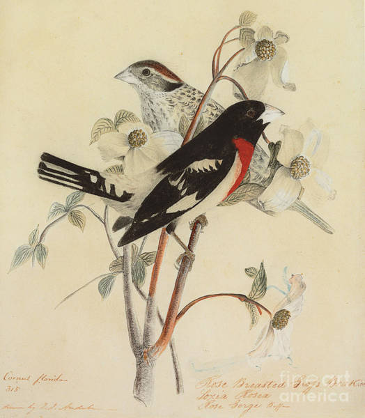 Painting - Rose Breasted Grosbeak by John James Audubon