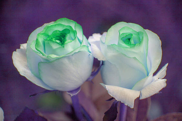 Photograph - Roses by Artistic Panda