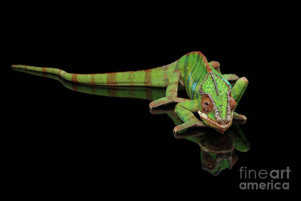Photograph - Sneaking Panther Chameleon, Reptile With Colorful Body On Black Mirror, Isolated Background by Sergey Taran