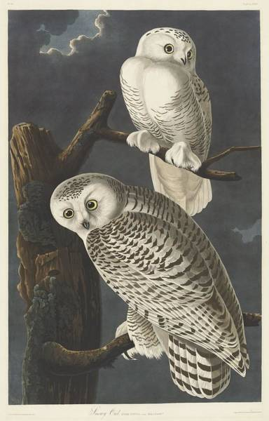 Wall Art - Drawing - Snowy Owl by Dreyer Wildlife Print Collections