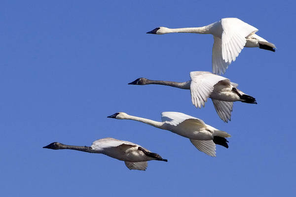 Wall Art - Photograph - 4 Swans In Flight by Laurie With