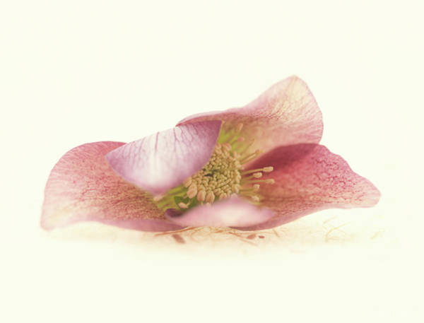 Wall Art - Photograph - Hellebore Bud by Anne Geddes