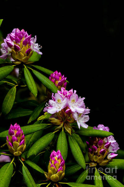 Photograph - West Virginia State Flower by Thomas R Fletcher