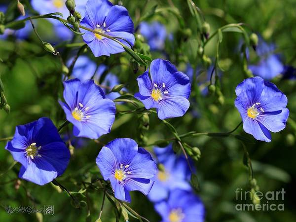Wall Art - Photograph - Wild Blue Flax by J McCombie