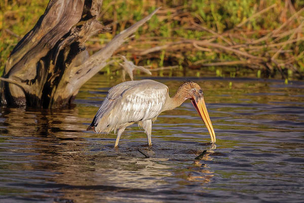 Photograph - Wood Stork by Peter Lakomy